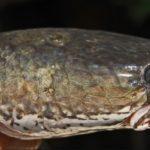 Manfaat Ekstrak Ikan Gabus
