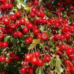 Manfaat dan Efek Samping Goji Berry
